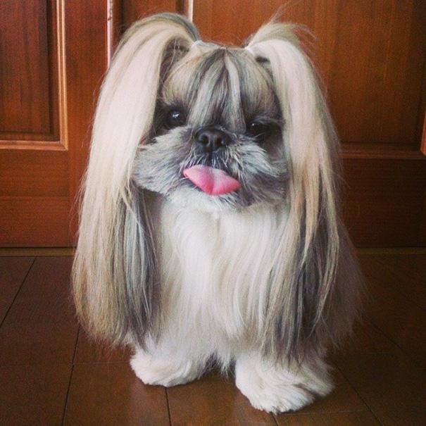 cada dia um penteado novo no cachorro 2