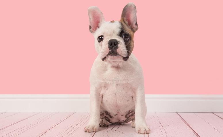 cachorro sentado parede rosa