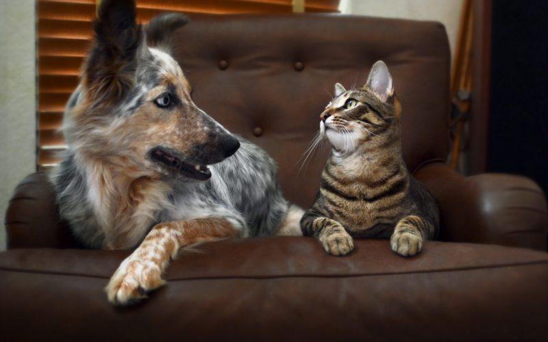 gato e cachorro no sofá
