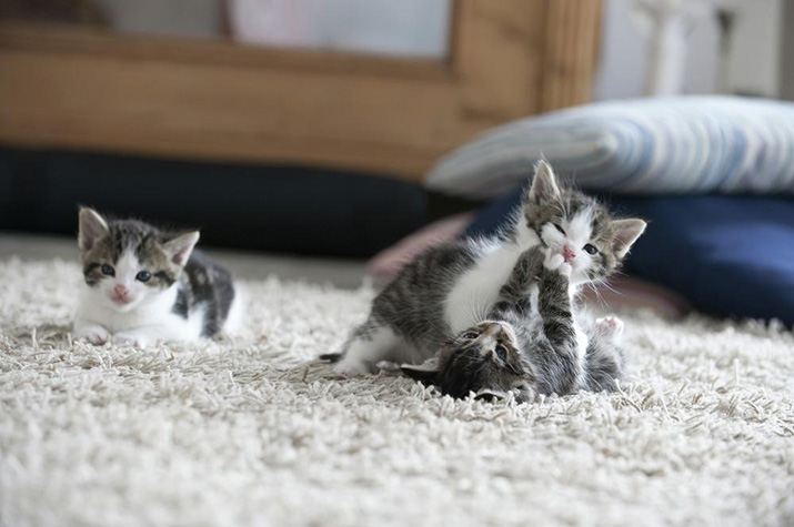gatos filhotes brincando no tapete