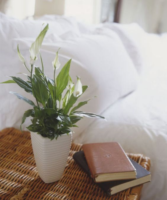 Lírio-da-Paz plantas que ajudam a purificar o ar