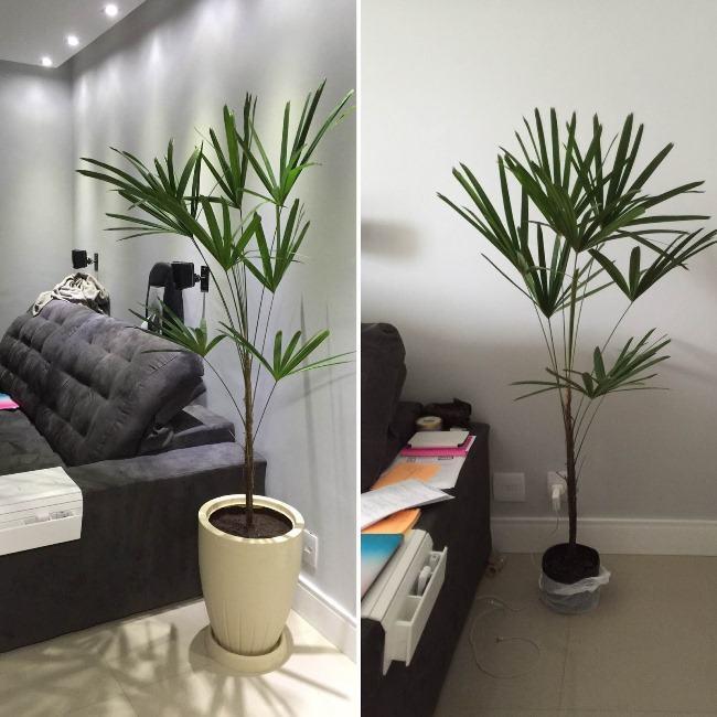 Palmeira-ráfis dentro de casa