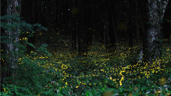 vagalume na floresta japão