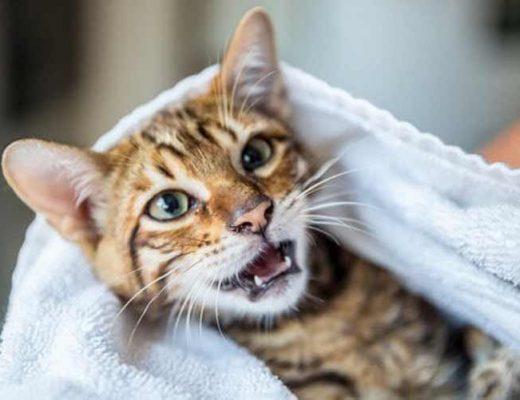tirar-mau-cheiro-do-gato