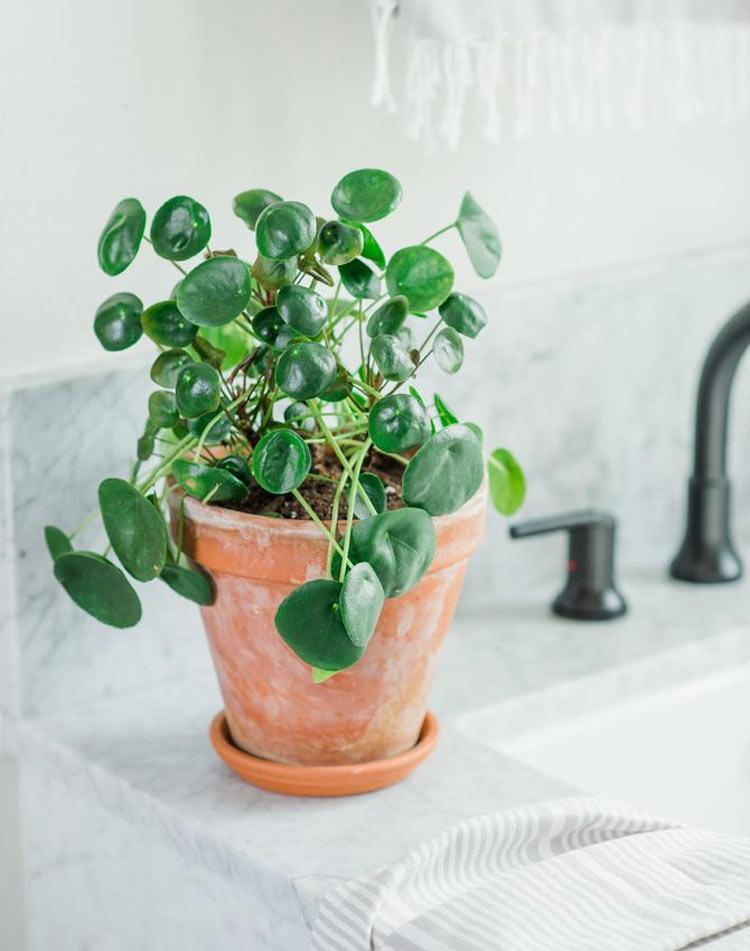 Planta-pilea-no-banheiro