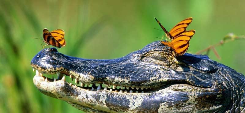 pantanal-animais