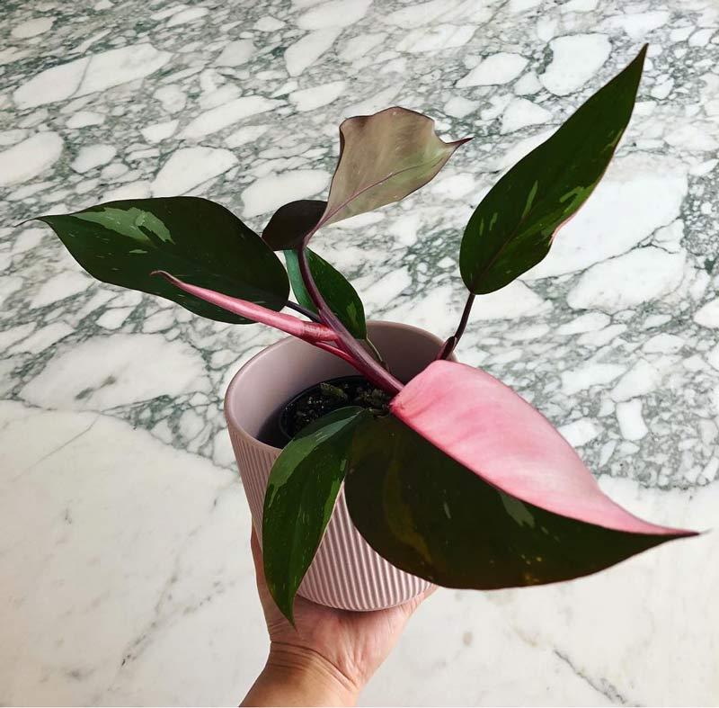 Princesa-Rosa-Philodendron