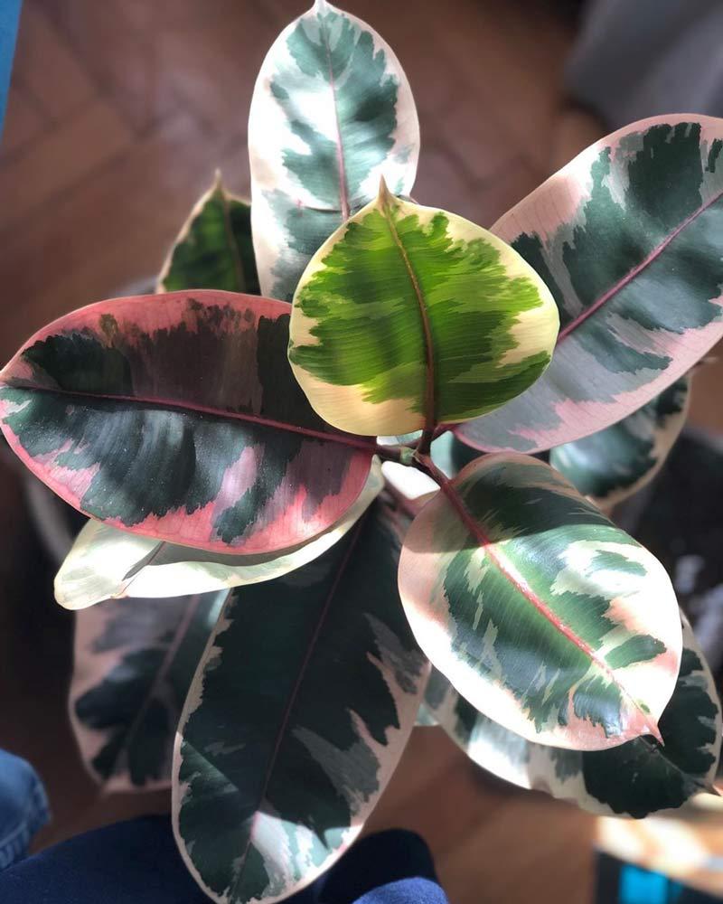 Seringueira-Ficus-elastica