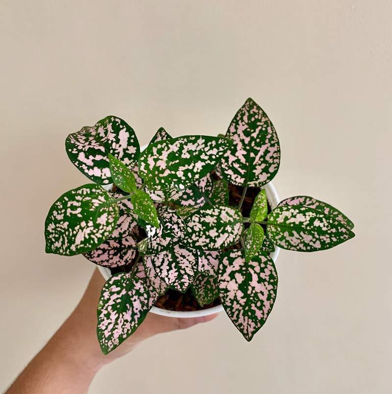 planta-confete-rosa