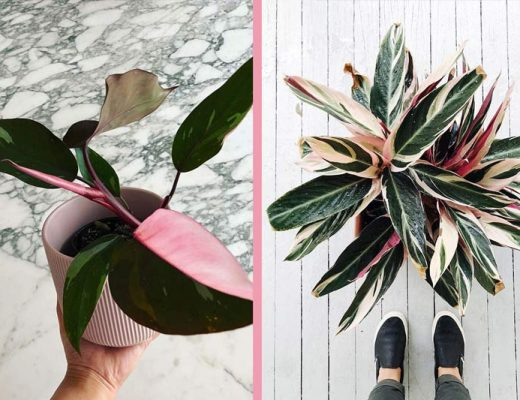 plantas-cor-de-rosa